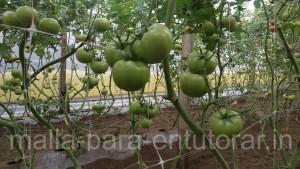 HORTOMALLAS, malla para entutorar, envarado, entutorado, rafia, malla espaldera, malla tutora, malla para entutorar, hortalizas, cultivo de pimientos, cultivo de tomates