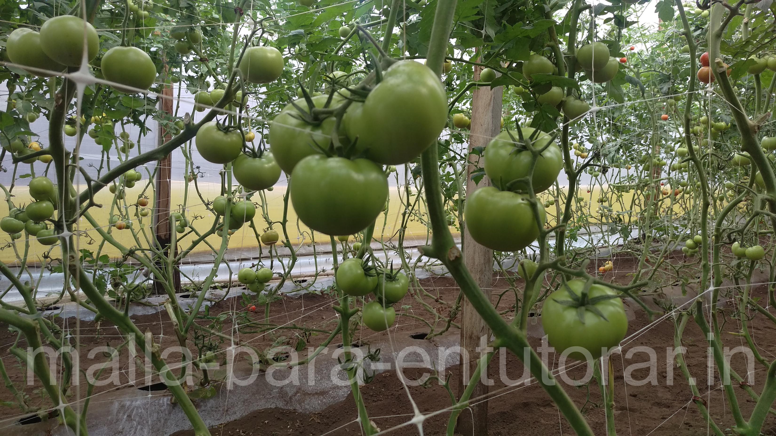 Malla para entutorar hortalizas para tu cultivo el - Tutores para tomates ...